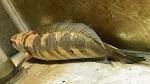 ノーザンみしま伝説の魚